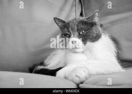 Schwarz-weiß Foto von gemischt-Rasse Katze sitzt auf einer Couch mit der einen Pfote über den Anderen in einer entspannten Position - Stockfoto