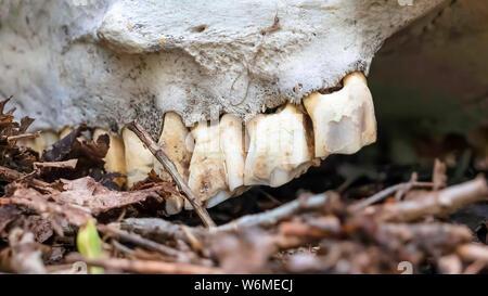 Panorama in der Nähe der Zähne zu den weißen Schädel eines toten Tier im Wald befestigt - Stockfoto