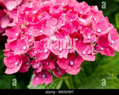 Ein Cluster von roten Hortensien blühen neben einem Wanderweg im zentralen Teil von Japan. Dieses helle gruppierten Blüten sind sehr beliebt in Japan im Sommer. - Stockfoto