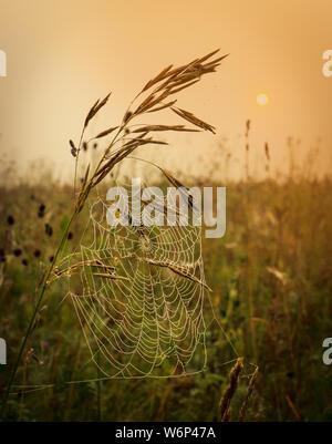 Tropfen Morgentau auf einem Webserver von Gras hängen an den Stielen der Gras im Sommer Feld bei Sonnenaufgang - Stockfoto