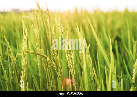 Reisfeld am Morgen. Weizen aus der Nähe. Schöne Natur Sonnenuntergang Landschaft. Landschaft unter der strahlenden Sonne. Hintergrund der reifenden Ähren mea Stockfoto