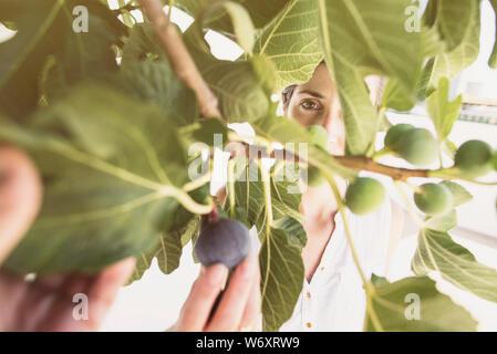 Mitte der erwachsenen Frau Feigen sammeln im Baum auswählen reift von inmatures im Sommer Bild - Stockfoto