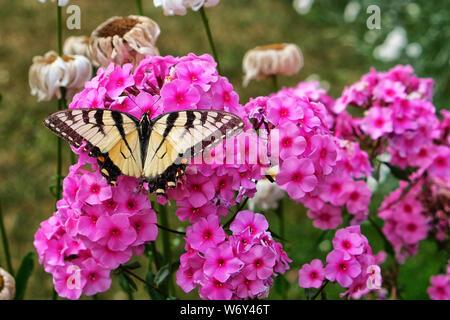 Kanadische Tiger Swallowtail Butterfly auf rosa Blüten Stockfoto