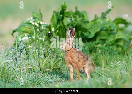 Feldhase (Lepus europaeus) Großbritannien - Stockfoto