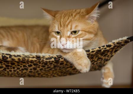Große und schöne rote Katze schlafen in der Hängematte - Stockfoto