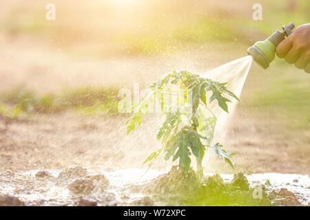 Hand mit Wasserschlauch und Bewässerung junge papaya Baum im Garten. Speichern Welt und Ökologie Konzept - Stockfoto