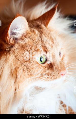 Ginger cat in das Licht schauen - Seitenansicht - Stockfoto