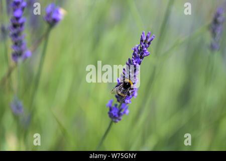 Hummel auf einer Blüte lila Lavendel Blume und grüne Gras in den Wiesen oder Felder Blurry natürlichen Hintergrund Weichzeichner. - Stockfoto
