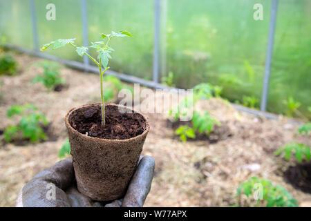 Männliche Bauer Holding organische Topf mit Tomate vor dem Einpflanzen in die Erde. Der Mensch bereitet wenig Tomate in den Boden zu pflanzen - Stockfoto