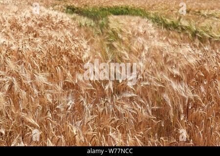 Schöne und detaillierte Nahaufnahme über die Ernte- und Weizenfeld Texturen im Norden Europas. - Stockfoto