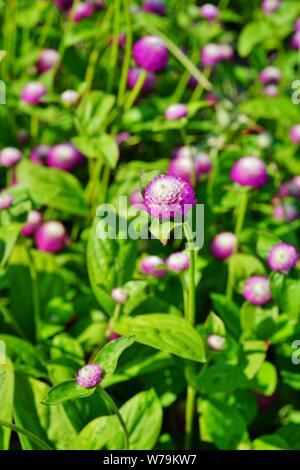 Gomphrena Nana Globus amaranth Blumen - Stockfoto