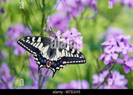 Schwalbenschwanz Schmetterling (Zygaena Filipendulae britannicus) Großbritannien - Stockfoto