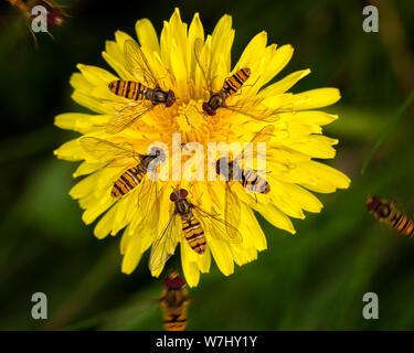 UK Wildlife: Marmelade Schwebfliegen, Episyrphus balteatus, erstellen eine fast symmetrische Muster auf einem Löwenzahn Blume wie sie Nektar in einer Gruppe trinken - Stockfoto