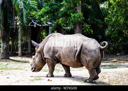 Portrait von niedlichen männliche Stier Rhino oder Nashorn. Das Konzept der Tiere im Zoo