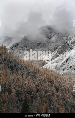 Die oberen Wald Gürtel in Altai Gebirge nach dem ersten Schneefall, Katunsky Bereich mit Sibirischen Lärche Bäume (Larus pumila rufous) und Sibirische Kiefer (Pinus Pumila) Mt. belukha Naturpark, Sibirien, Russland, Oktober 2010. - Stockfoto