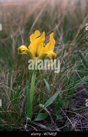 Iris (Iris humilis) in Blüte Orenburg steppe Orenburgsky State Nature Reserve, Zapovednik, Orenburg Steppe Region, Russland an der Grenze zu Kasachstan, Mai. - Stockfoto