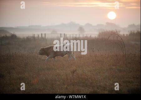 Vieh auf der Weide grasen, West Canvey Sümpfe RSPB Reservat, Essex, England, UK, November. - Stockfoto