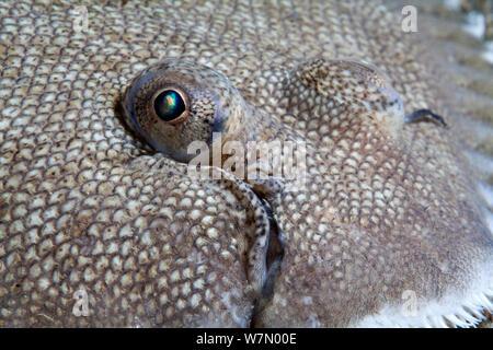 Seezunge (Solea solea) Nahaufnahme von Haut und Gesicht, Channel Islands, Großbritannien, Juli - Stockfoto