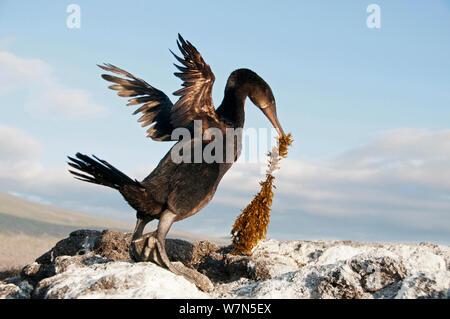 Flugunfähigen Kormoran (Phalacrocorax harrisi) Nannopterum/mit Nistmaterial. Banken Bucht, Insel Isabela, Galapagos, Ecuador, Dezember. - Stockfoto