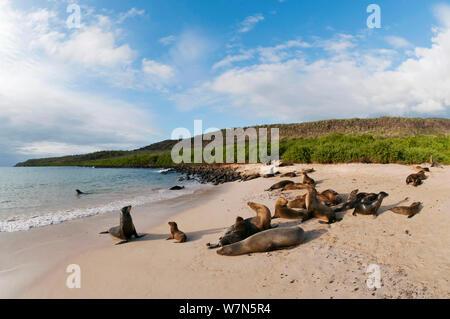 Galapagos Seelöwe (Zalophus wollebaeki) Kolonie Erholung am Strand. Gefährdet. Galapagos, Ecuador, Juni. - Stockfoto