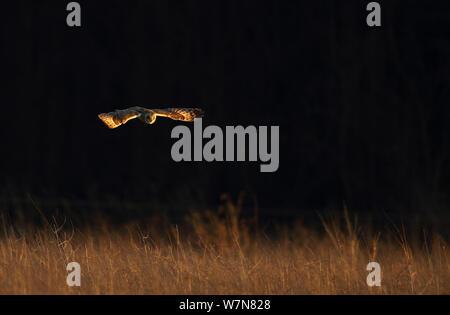 Short eared owl (Asio Flammeus) über Wiesen während der Jagd, Northamptonshire, England, Großbritannien fliegen, Dezember - Stockfoto