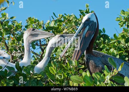 Braunpelikan (Pelecanus occidentalis) Erwachsene mit Küken im Nest, um Fisch zu Erbrechen. Academy Bay, Santa Cruz Island, Galapagos, Ecuador - Stockfoto