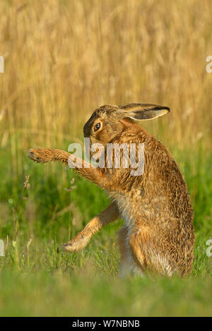 Europäische hare (Lepus europaeus) pflegen, UK Juli - Stockfoto