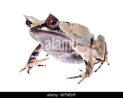Malaiische/Bornesischen horned Frog (Megophrys nasuta) Jugendkriminalität, der Crocker Range, Borneo. Malaysia meetyourneighbors.net Projekt - Stockfoto