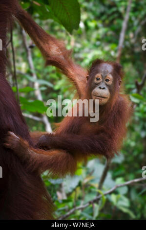 Kleinkind bornesischen Orang Utan (Pongo pygmaeus) an die Mutter klammert. Camp Leakey, Tanjung Puting NP, Kalimantan, Borneo. - Stockfoto