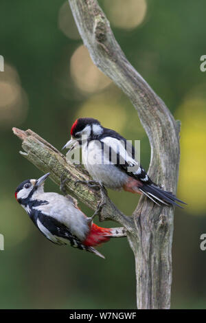 Buntspecht (Dendrocopos major) erwachsenen männlichen Fütterung junger, Oisterwijk, Niederlande, Juni - Stockfoto
