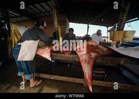 Mantarochen (Manta birostris) geschlachtet von kiemennetzen Fischer, für Markt-, Huatabampo, Mexiko bereit, in die See von Cortez, Pacific Ocean Model Released. - Stockfoto