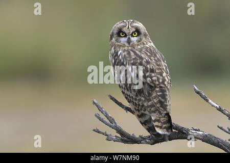 Short eared owl (Asio Flammeus) Breton Marsh, West Frankreich, Juni - Stockfoto
