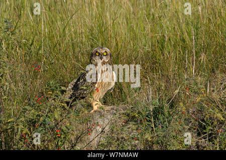 Short eared owl (Asio Flammeus) auf Masse, bretonischen Sumpf, West Frankreich, Juni - Stockfoto