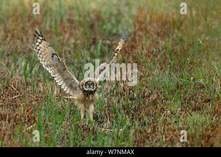 Short eared owl (Asio Flammeus) juvenile Schlagflügel in Vorbereitung für Flug, bretonischen Sumpf, West Frankreich, Juni - Stockfoto