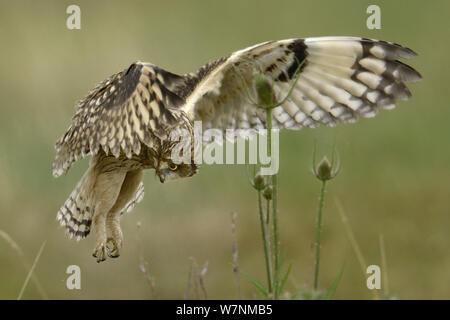 Short eared owl (Asio Flammeus) im Flug, Jagd über Bretonischen Sumpf, West Frankreich, Juni - Stockfoto
