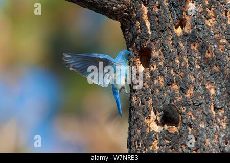 Mountain Bluebird (Sialia currucoides), männlich Schweben zu untersuchen mögliche nest Loch in verbrannt Jeffrey Pine (Pinus jeffreyi), Mono Lake Basin, Kalifornien, USA, Juni. - Stockfoto