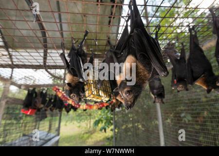 Brillentragende Flughunde (Pteropus Conspicillatus) in Voliere bei der Fütterung, die Fledermäuse sind eine Vielzahl von Obst und trinken Milch und Wasser, Tolga Bat Hospital, North Queensland, Australien, November 2012 gefüttert - Stockfoto