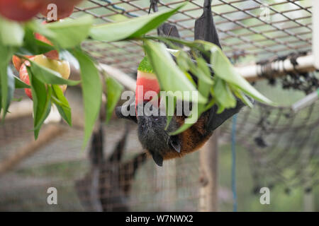 Graue Leitung Flying Fox (Pteropus poliocephalus) in Voliere Einziehen auf Obst, Tolga Bat Krankenhaus, North Queensland, Australien, November 2012