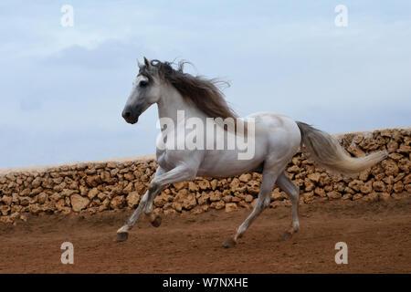 Grau andalusischen Hengst Galopp, in Ciutadella, Menorca, Spanien. - Stockfoto