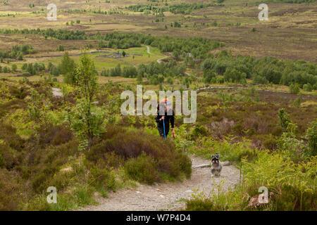Menschen Wandern mit Hund auf Fußweg durch Regeneration Hänge-birke (Betula pendula) Woodland, creag Meagaidh National Nature Reserve, Badenoch, Schottland, Großbritannien, Juni 2012. - Stockfoto