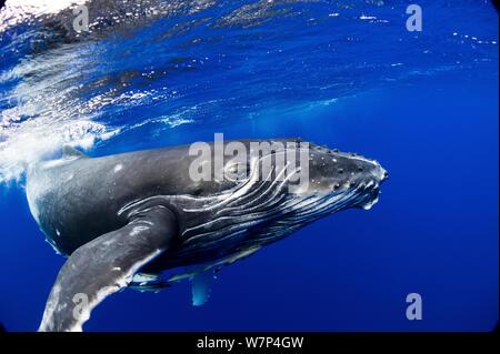 Buckelwal (Impressionen Novaeangliae) Kalb. Tonga, Südpazifik, September. - Stockfoto