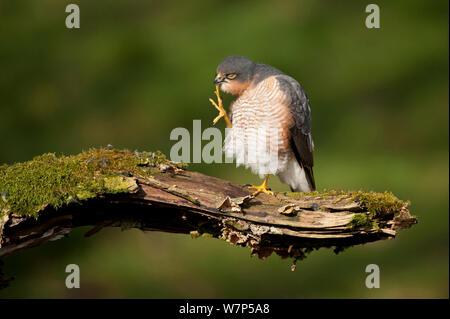 Sperber (Accipiter nisus) männlichen Erwachsenen pflegen. Schottland, UK, März. Wussten Sie schon? Einen weiblichen Sperber ist 25% größer als ein männlicher Sperber. - Stockfoto