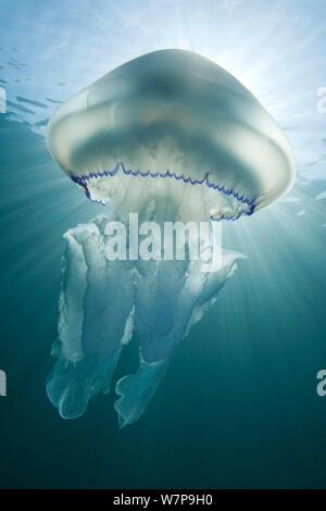 Fass-Quallen (Rhizostoma Pulmo) gegen dämmerungsaktiv Lichtstrahlen. Sark, britische Kanalinseln, Juli. - Stockfoto