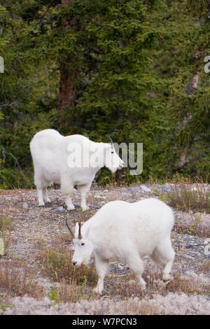 Bergziegen (Oreamnos americanus) Jasper National Park, Rocky Mountains, Alberta, Kanada - Stockfoto