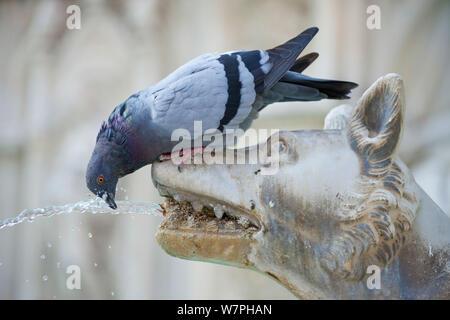 Wilde Taube (Columba livia) Alkoholkonsum von Fonte Gaia (Brunnen der Freude) Brunnen. Piazza del Campo, Siena, Italien, September. - Stockfoto