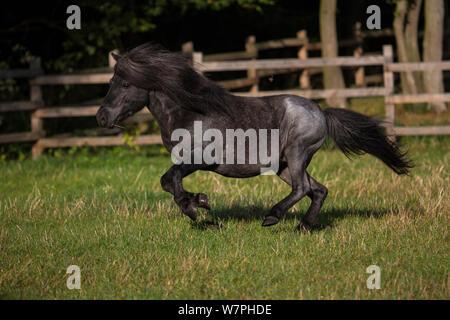 Shetland Pony 'Watzmann', Hengst, 14 Jahre alt, galoppieren in der Wiese mit hölzernen Zaun, Deutschland - Stockfoto