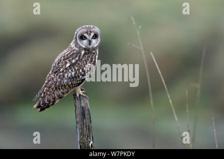 Short eared owl (Asio Flammeus) auf Zweig, bretonischen Sumpf, West Frankreich, Dezember - Stockfoto