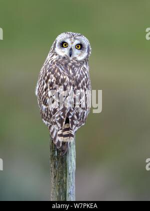 Short eared owl (Asio Flammeus) auf eine Post, bretonischen Sumpf, West Frankreich, Januar - Stockfoto