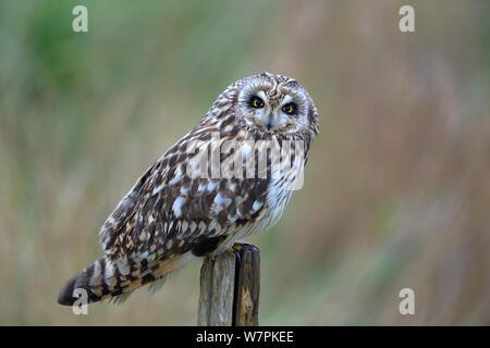 Short eared owl (Asio Flammeus) auf Post, bretonischen Sumpf, West Frankreich, Januar - Stockfoto