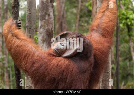 Bornesischen Orang-utan (Pongo pygmaeus wurmbii) - 'Tom', Tanjung Puting Nationalpark, Borneo, Kalimantan, Indonesien - Stockfoto